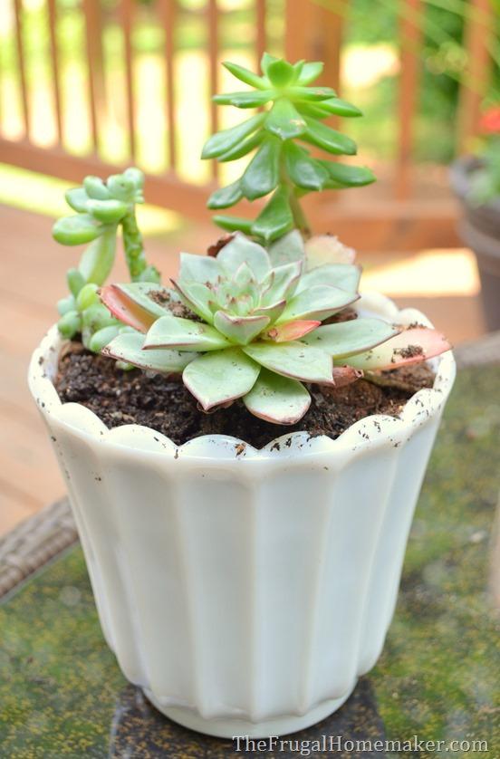 Easy Succulent Garden in a milkglass dish